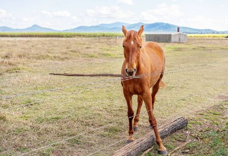 A beautiful brown horse amusing himself alone playing with a stick in a fenced country paddock Reklamní fotografie - 129925304