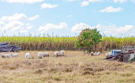 Sheep grazing in a paddock amongst wood and junk piles with a sugar cane crop and a mango tree in the background