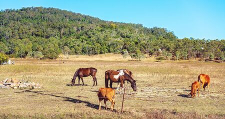 Horses and cattle grazing together on sugar cane on a rural farming property Reklamní fotografie - 129925307