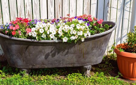 Beautiful colorful flowers in an old metal claw foot bathtub as a focal point in a country garden