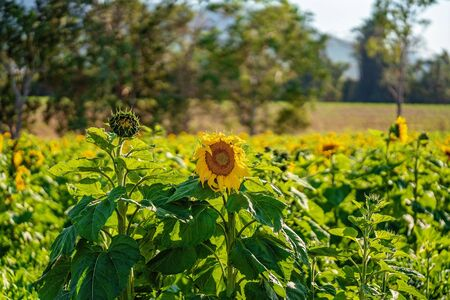 A field of sunflowers on a bright sunny day in the country 写真素材