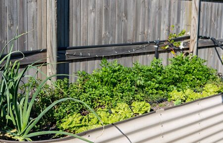 Raised garden beds growing herbs and salad vegetables in a home backyard Stockfoto