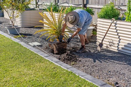 An active senior male retiree working in his garden replanting a pineapple plant on a sunny spring morning Stockfoto
