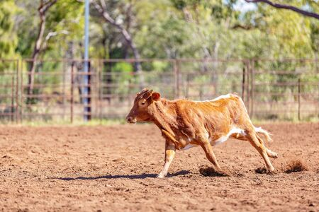 A calf running in an outback country paddock after being pursed by cowboys on horseback Reklamní fotografie - 129925031