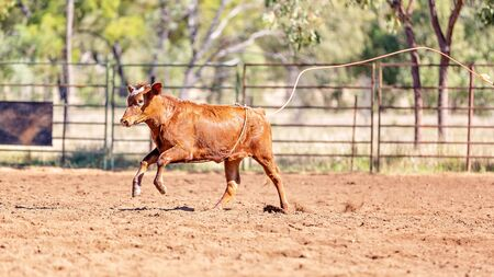 A running calf being lassoed by cowboys in a dusty Australian outback country rodeo