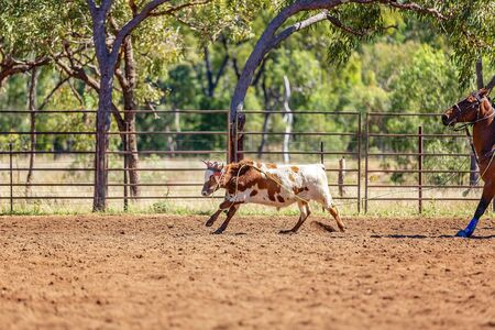 A calf running in an outback country paddock after being pursed by cowboys on horseback Reklamní fotografie - 129924890
