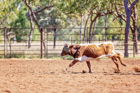 A calf running in an outback country paddock after being pursed by cowboys on horseback
