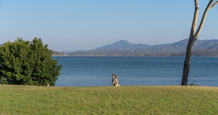Two kangaroos standing up and one peeking over the hill on the shores of a popular Australian dam Banco de Imagens