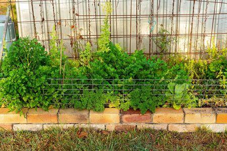 A healthy crop of herbs being grown in an outdoor country home backyard garden
