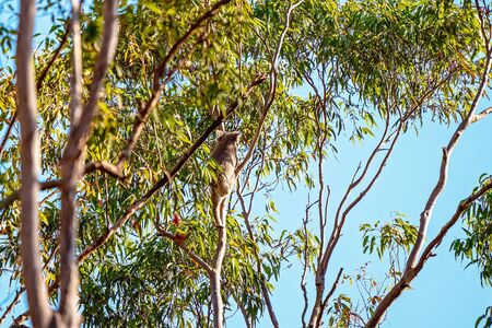 The unique native Australian koala, climbing up a gum tree