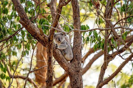 The unique native Australian koala, sitting in a gum tree Stock Photo