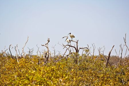 Ibis birds in the branches of a mangrove vegetation eco system by the ocean