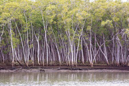 Un ecosistema di vegetazione di mangrovie in riva all'oceano
