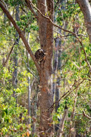 The unique native Australian koala, asleep in a gum tree
