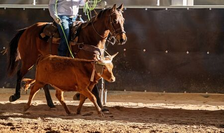 A calf being lassoed by cowboys in an Australian outback country rodeo