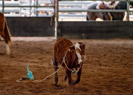 A calf with a rope around its neck running across an arena to escape cowboys on horseback