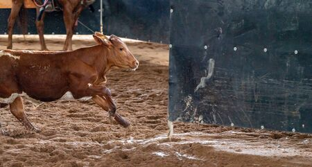 A calf running to the safety of its pen after being chased by cowboys on horseback Banco de Imagens