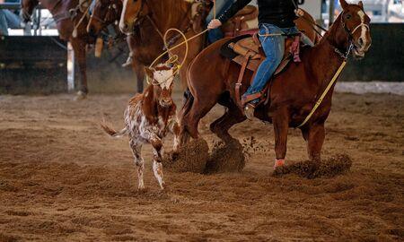 A cowboy on horseback lassoing a running calf