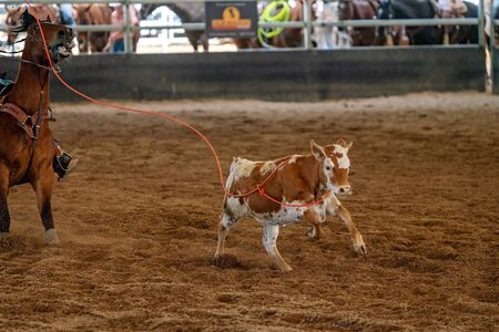 A calf running across a dirt arena after being lassoed with a rope Banco de Imagens