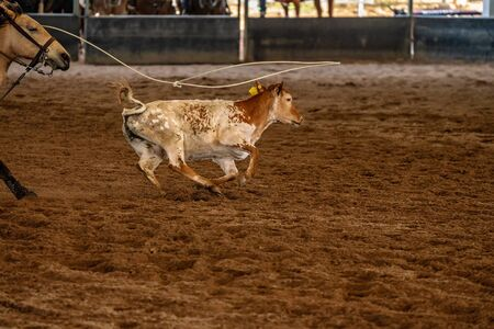 A calf running across a dirt arena after being lassoed with a rope Stock Photo
