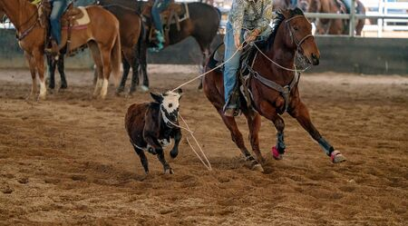 A female horseback rider lassoing a running calf at an outback country arena Banco de Imagens