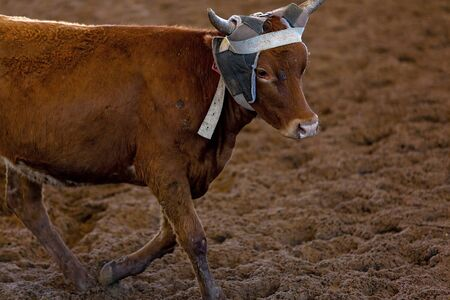 Close up of a calf running from cowboys on horseback trying to lasso it