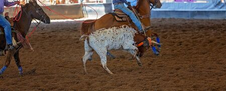 A cowboy on horseback lassoing a running steer in an outback arena