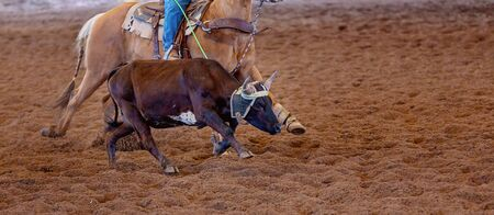 A calf being lassoed by a cowboy on horseback at an outback country rodeo Stock Photo