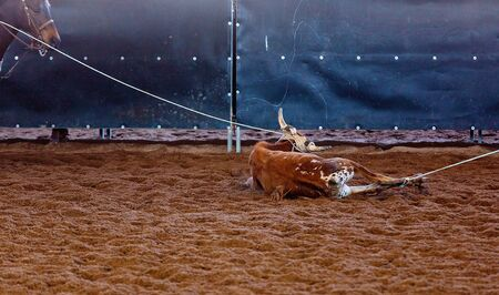 A calf held captive on the ground with both legs roped in a team event at an outback country rodeo