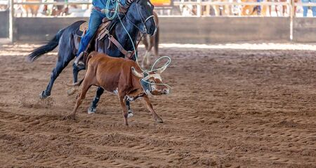 A calf being lassoed by a cowboy on horseback in an Australian outback country rodeo