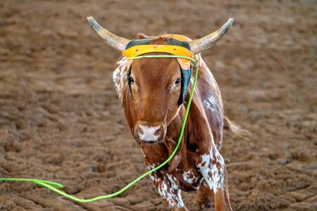 A calf runs for freedom after being lassoed around the neck at an Australian outback country rodeo Banco de Imagens