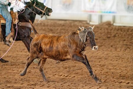 A running calf being lassoed by a cowboy on horseback in an Australian outback country rodeo