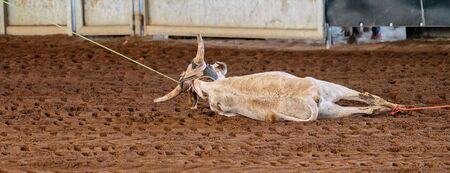 A calf falls to the ground after being roped in a team event at an Australian outback country rodeo