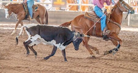A running calf being lassoed by a cowboy on horseback in an Australian outback country rodeo Stock Photo