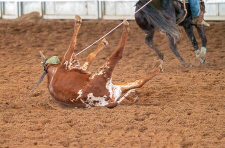 A young cow being lassoed by cowboys on horseback in a team calf roping event in a country arena Stock Photo