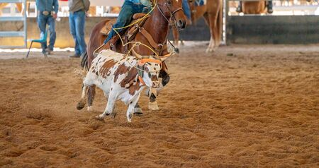 A young cow being lassoed by cowboys on horseback in a team calf roping event in a country arena