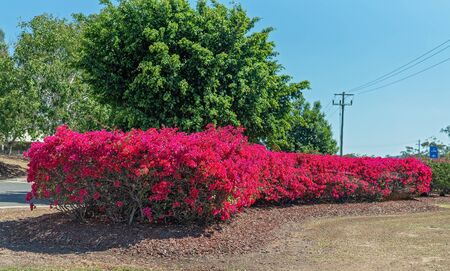 A long thick and colorful red bougainvillea hedge by a country road