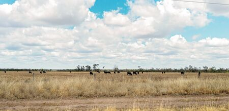 Cattle grazing in a paddock of harvested grain under a cloudy sky