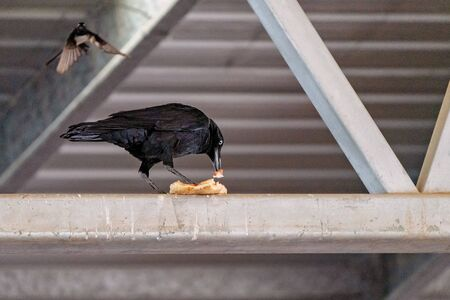 A black crow eating his scavenged bread in the ceiling rafters of a shed