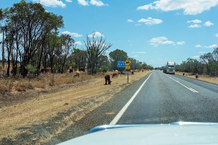 Clermont, Queensland, Australia - October 2019: Cattle grazing on the side of a rural highway with a semi trailer approaching, as seen from an approaching car windscreen