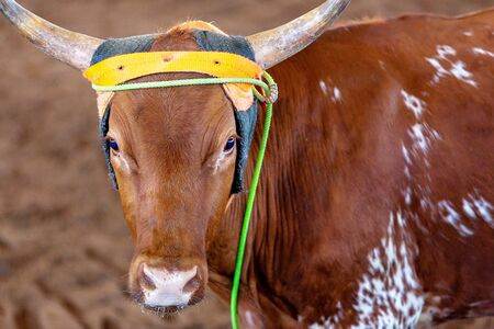 Close up of a lassoed calf in roping event in a country arena