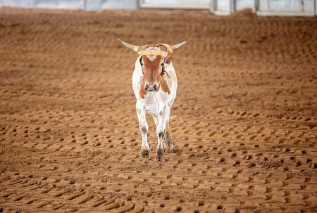 A calf running in a country arena after being chased by cowboys trying to lasso him