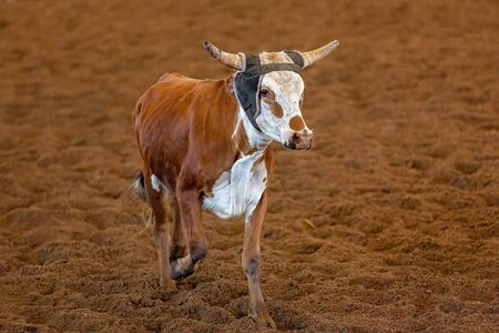 A calf running away from cowboys trying to lasso it in a calf roping event at a country rodeo Stock Photo
