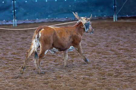 A calf being lassoed by cowboys on horseback in a team calf roping competition at a country rodeo Stock Photo