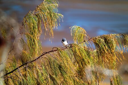 A masked wood swallow bird perched on a fir tree branch by the beach