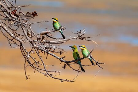Three bee-eater birds perched on tree branches against a sand background at the beach which is their natural habitat 写真素材