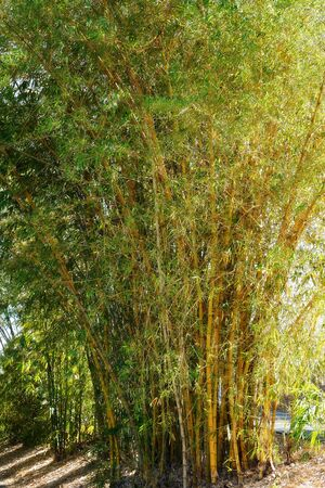 A cluster of thick healthy fast growing bamboo plants