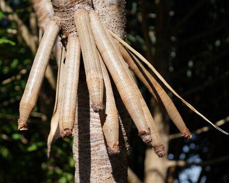 Close up of tree seed pods in bright sunshine Zdjęcie Seryjne