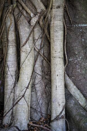 Close up of vines curling around the roots of a tree trunk Zdjęcie Seryjne