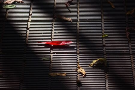 A red leaf fallen on a grid path amongst other leaves